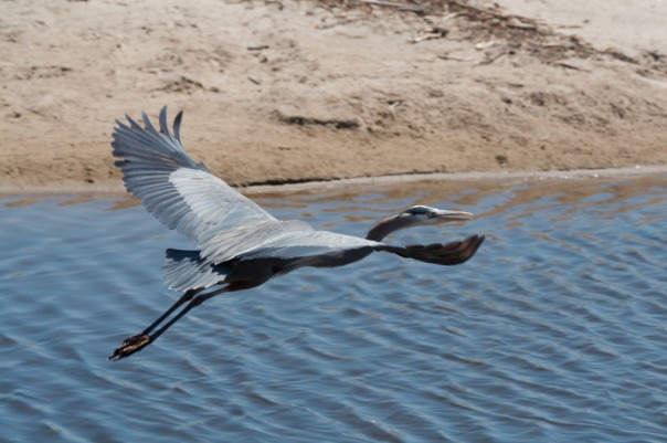 A Great Blue Heron (Ardea herodias) taken in Santa Barbara by Dori